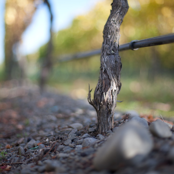 Vine in gravels